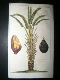 Wilhelm C1790's Hand Col Botanical Print. African Oil Palm Tree 5-59